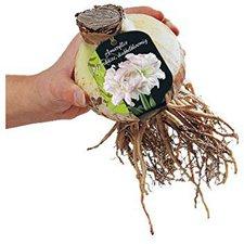 Amaryllis Blumenzwiebeln