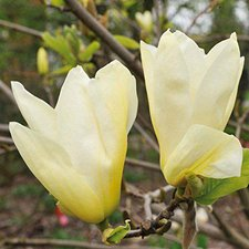 Magnolie Yellow River