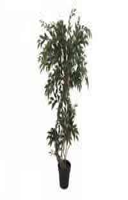 Ficus Spiralstamm im Topf 160cm