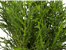 Hiba Lebensbaum