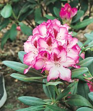 Hachmann's Charmant Rhododendron